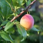 ref-photo-mbe-plum-tree1